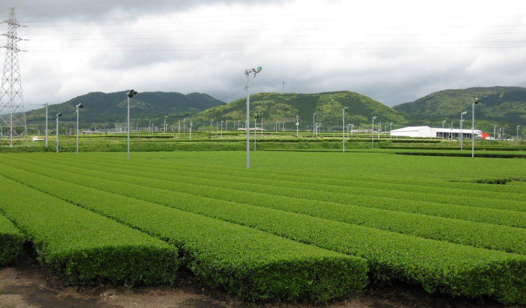 Japon Plantation M Canis E Orig 1024x600